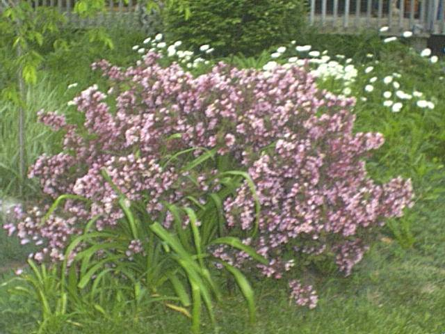 purpleflowerbush.jpg